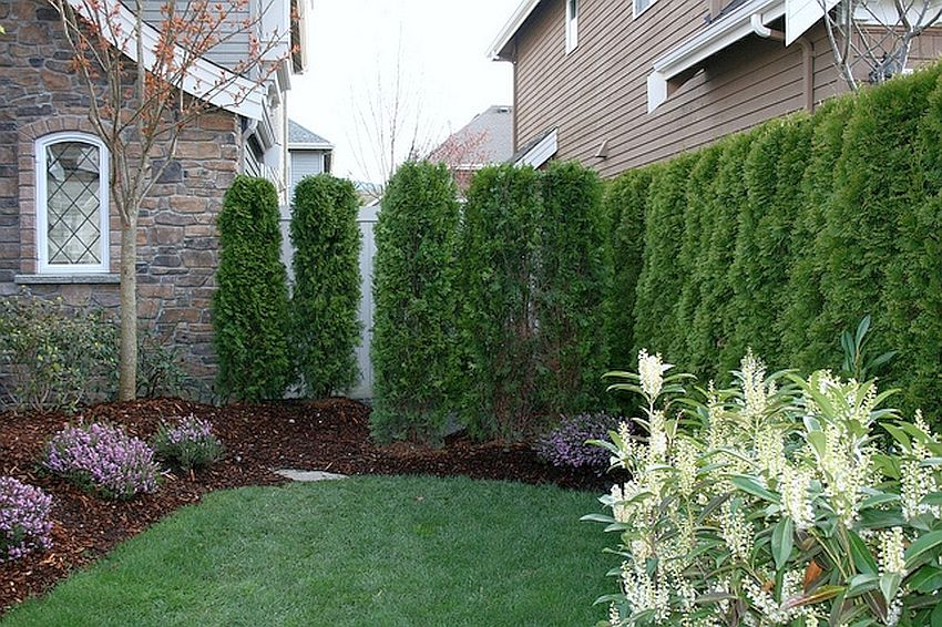 Backyard Hedge