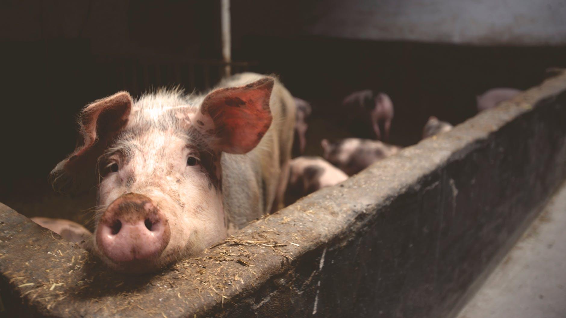 pigs as hobby farm animal